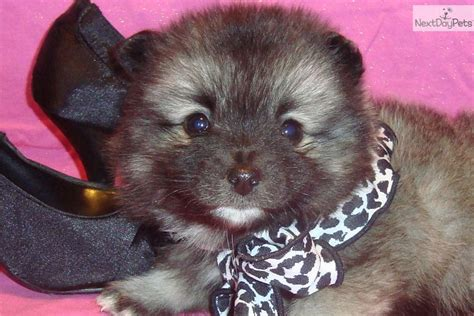 keeshond puppies for sale near me keeshond puppy for sale near springfield missouri ea40ab34 04a1