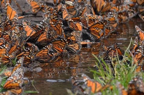 imagenes de santuarios naturales 191 qu 233 sucede con las mariposas monarca en m 233 xico