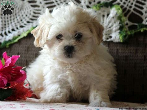 shichon puppies for sale in pa 133 best images about shih poo s shih tzu s and teddy dogs on