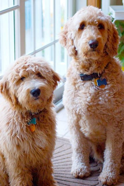 goldendoodle puppy traits goldendoodle vs labradoodle comparing traits