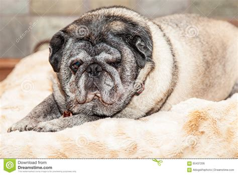 large pugs big lazy pug on bed stock photo image 65437206
