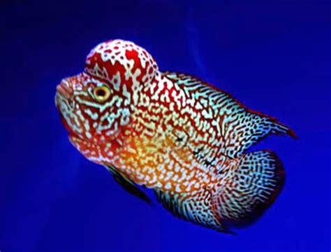 Pakan Ikan Louhan Hidup journey of flowerhorn louhan pertanyaan seputar ikan louhan