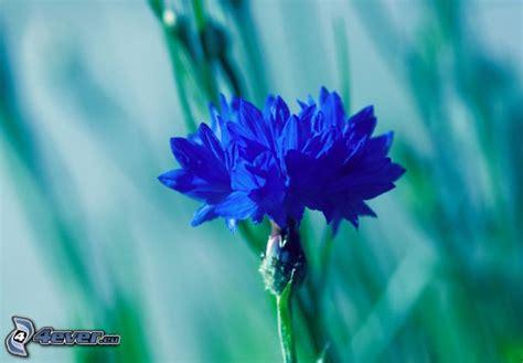 fiordaliso fiore fiordaliso