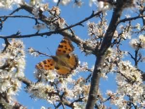 fiori di pruno farfalla sui fiori di pruno 2 andrea pagliantini