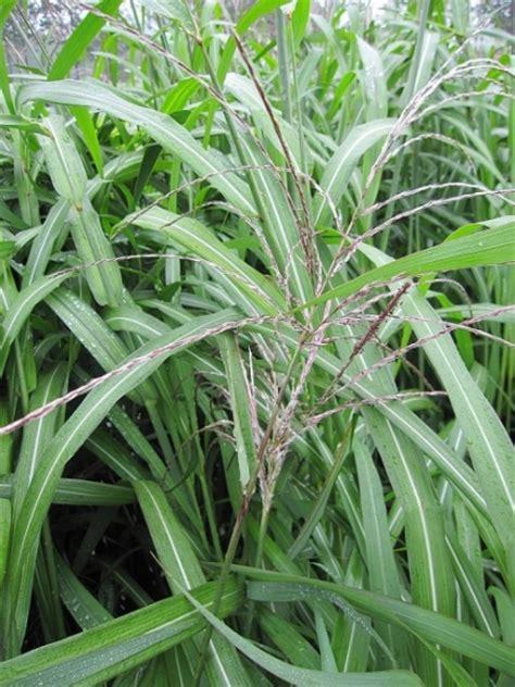 Garten Schilf by Miscanthus Sinensis Silberfeder Garten Schilf Silberfeder Www Pflanzenversand De