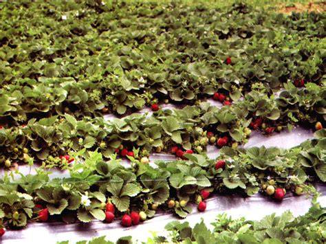 strawberry farming guide for beginners agrifarming in