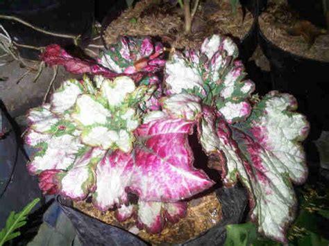 Jual Bibit Bunga Begonia jual tanaman begonia tipe 4 bibit