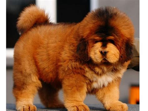 tibetan mastiff puppy price white tibetan mastiff puppies www pixshark images galleries with a bite