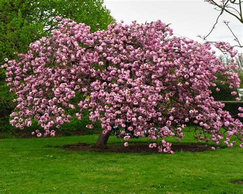 cherry tree genus gardensonline prunus serrulata