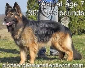 Worlds biggest german shepherd large german shepherd breeders