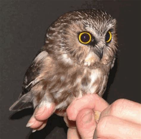 northern saw whet owl aegolius acadicus north american