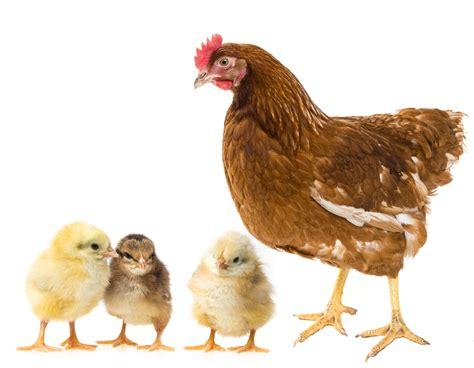 alimentazione galline ovaiole biologiche mattatoi senza operai terra nuova