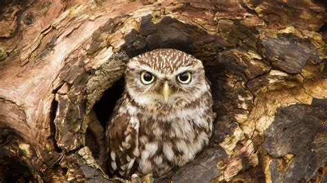 owl tree owl in a tree hollow wallpaper animal wallpapers 47580