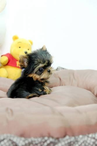 baby doll yorkies for sale baby doll yorkies puppies for sale in calgary alberta your pet for sale