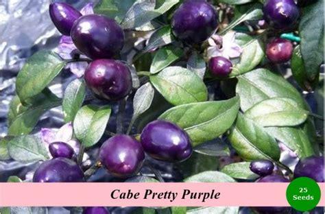 Benih Cabe Imperial 10 benih cabe pretty purple jualbenihmurah