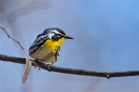 birds of new york yellow throated warbler