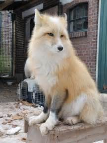 domesticated siberian fox fuzzy feathered gilled or