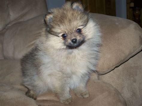 colored pomeranian puppies best 25 pomeranian colors ideas on