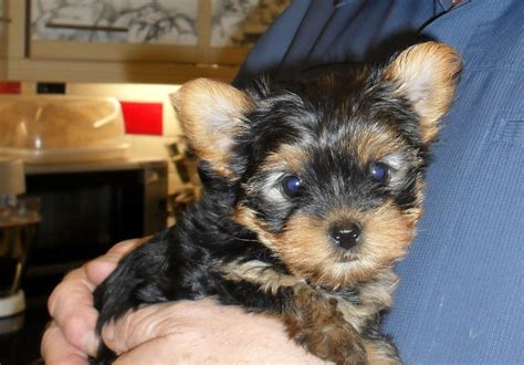 small yorkie puppies quality small and standard yorkie puppies weymouth dorset pets4homes