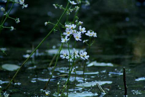 water violet fiore di bach water violet archivi unione di floriterapia