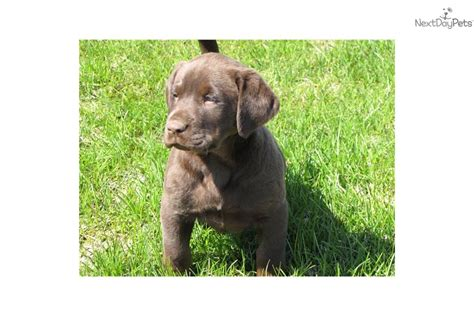 akc chocolate lab puppies for sale labrador retriever puppy for sale near fargo moorhead dakota c8e5d2fd 23a1
