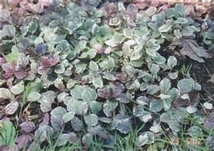 Carpet Bugle Plantfiles Pictures Carpet Bugle Bugleweed Burgundy