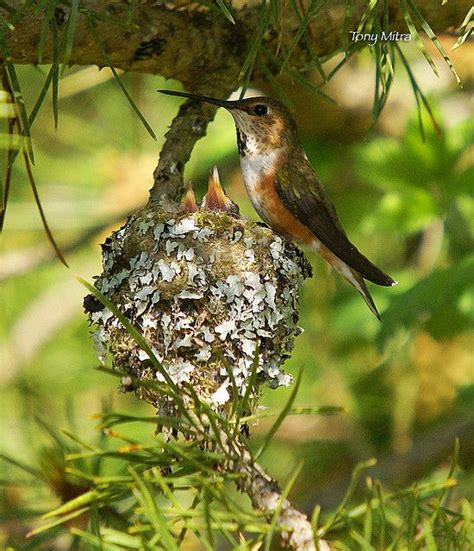 rufous hummingbird at nest hummingbirds pinterest
