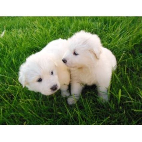 great pyrenees puppies for sale in ohio great pyrenees puppy for sale in beaverton oregon