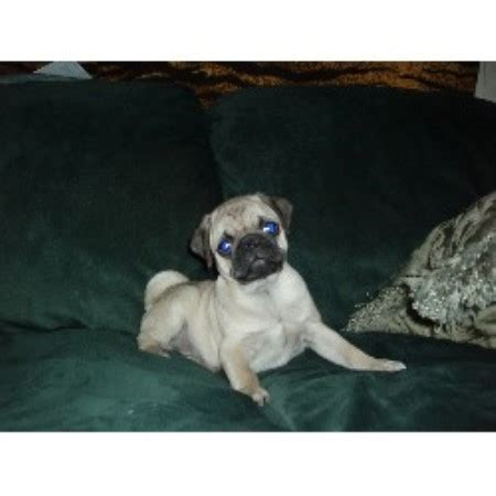 black pug puppies for sale in wisconsin penokee pugs pug breeder in high bridge wisconsin
