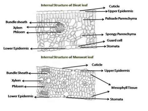 monocot diagram dicot leaf cross section diagram alphatravelvn