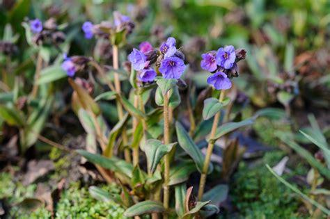 perennials that flower in march gardenersworld com