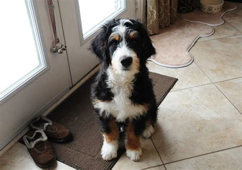 bernedoodle puppy bernedoodle future puppy envy