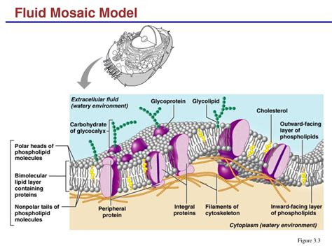evangeline leong biology  journal  fluid mosaic