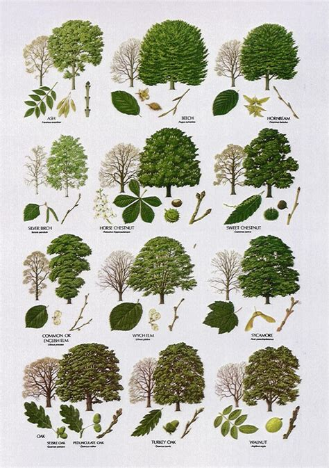 tree species guide trees broad leaved dendrology