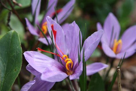 coltivare zafferano in vaso coltivazione zafferano come fare aromatiche come