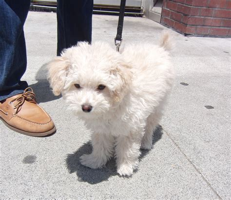 poodle mix dogs poodle characteristics temperament grooming and pictures inspirationseek
