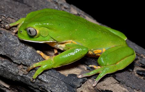 Frog Venom Detox by Ibogaine And Frog Poison Alternative Treatments For