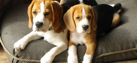 beagle for sale beagles for sale in