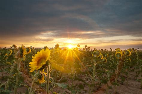 sunflower field sunrise in sunflower field by redfevers on deviantart