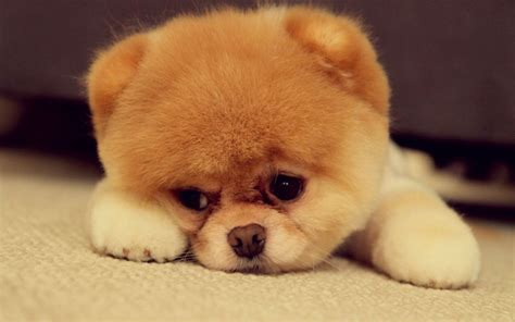 sad puppies puppy that will melt your cuteness overflow