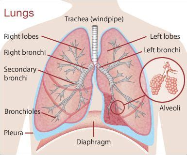 where are your lungs located in your diagram 7 best images about biology 2 on your brain