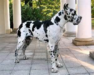 great dane colors harlequin a german name is for dogs with european heritage