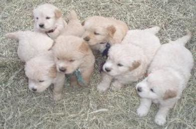 goldendoodle puppies sc goldendoodles facts about dogs