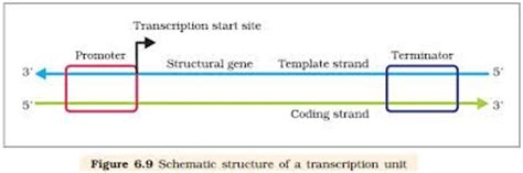 difference between template and coding strand genomics what is the difference between coding and non