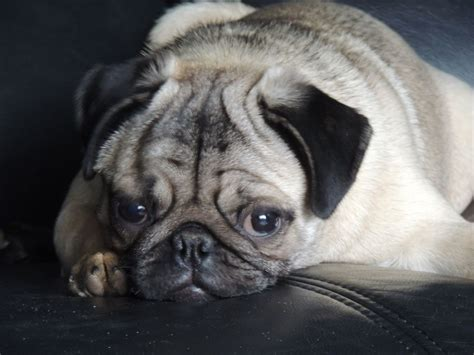 pug silver fawn silver fawn pug kc reg 6 months hull east of pets4homes