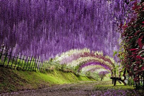 Flower Garden Japan The Wisteria Flower Tunnel At Kawachi Fuji Garden 171 Twistedsifter