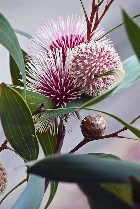 flowers in australian gardens best 25 australian flowers ideas on