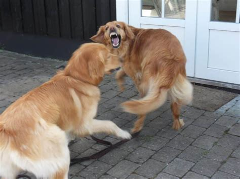 aggression in dogs fear aggression in dogs how to deal with this issue