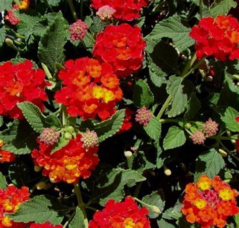 jenis tanaman hias gantung  memperindah rumah