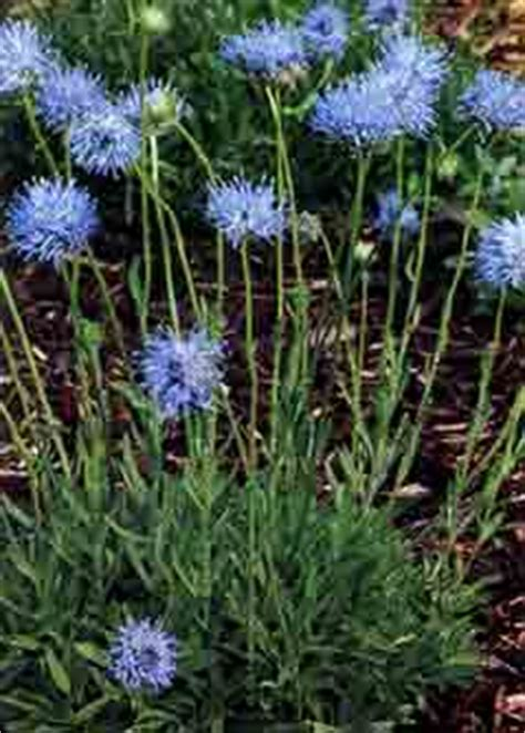 Beautiful Flower Images Jasione Perennis